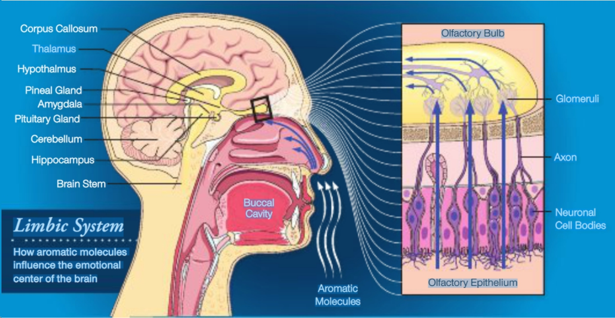 Blood Brain Barrier – What is it? | Aroma Empowered
